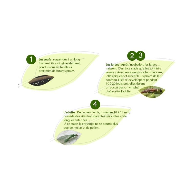 chrysope (Chrysoperla carnea) larves ou oeufs